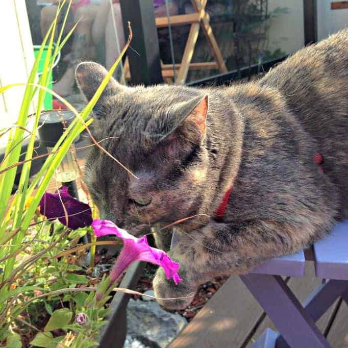 cat taking time to smell the flowers