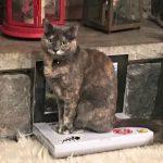 cat sitting on a cat laptop
