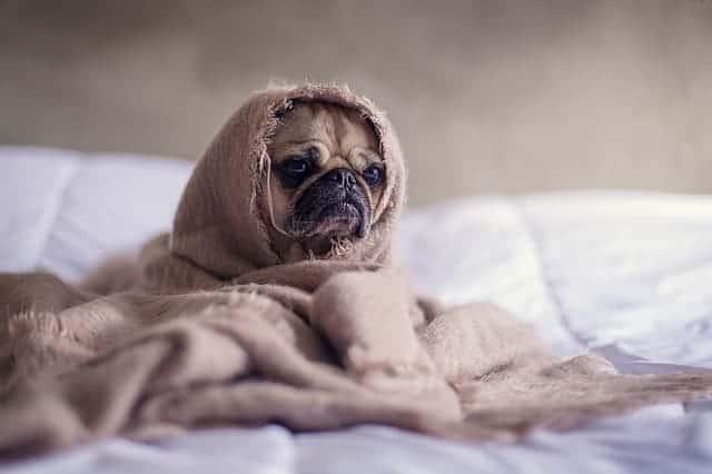 bedroom pug