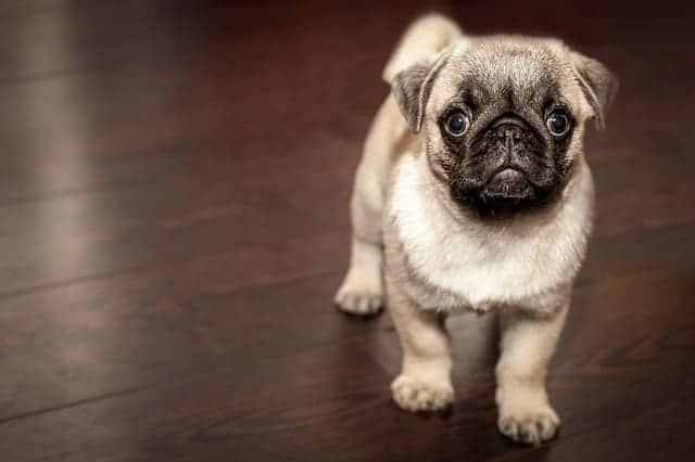 pup on the floor