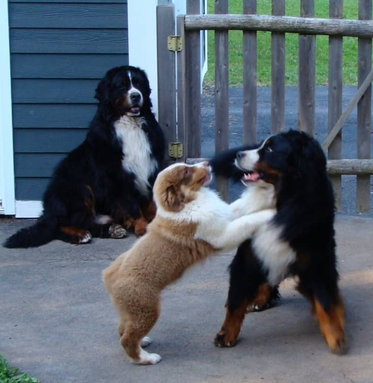 3 bernese mountain dogs