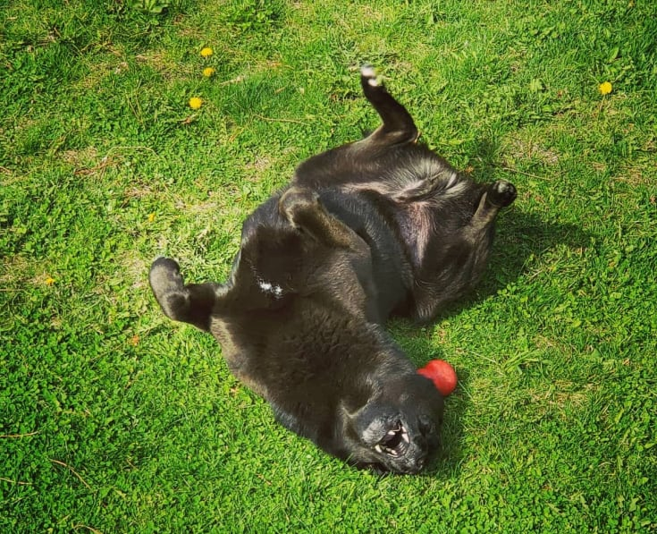 wolfie rolling in the grass