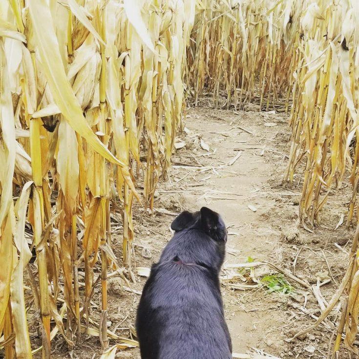 corn field and wolfie